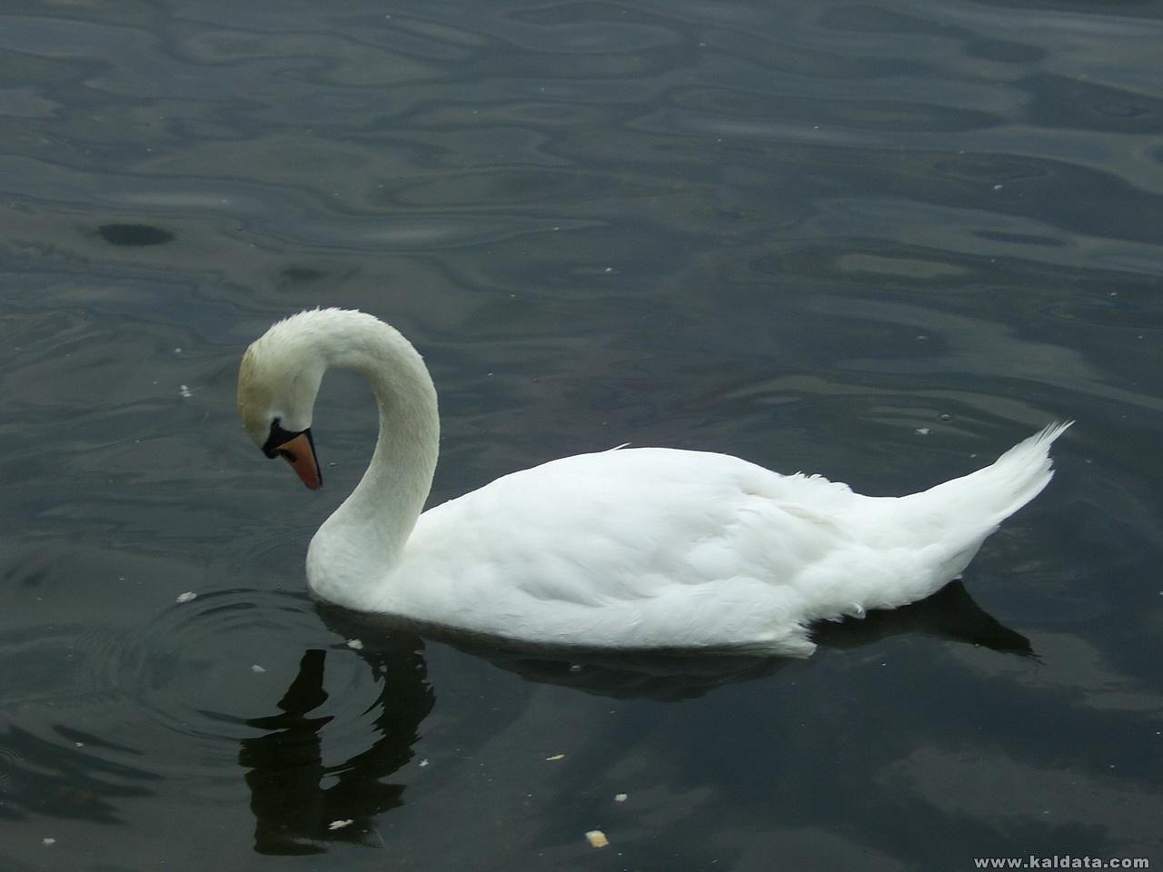 Лебед в Хайд парк