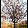 Водното дърво