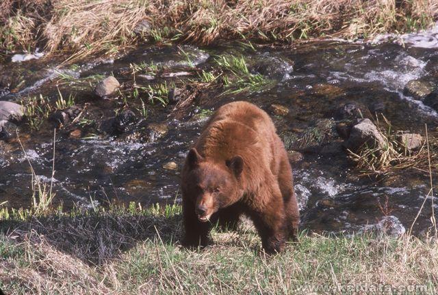 Black Bear 6 (cin.) Yellowstone.jpg