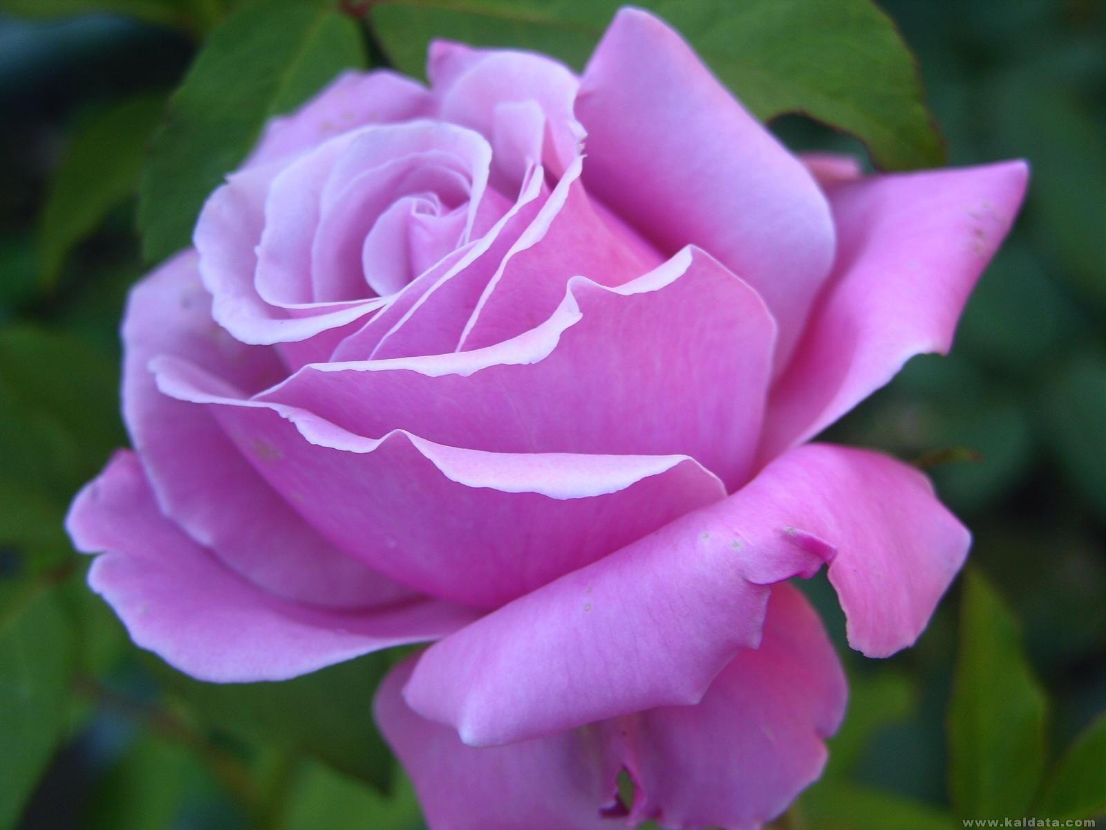 rose41.jpg
