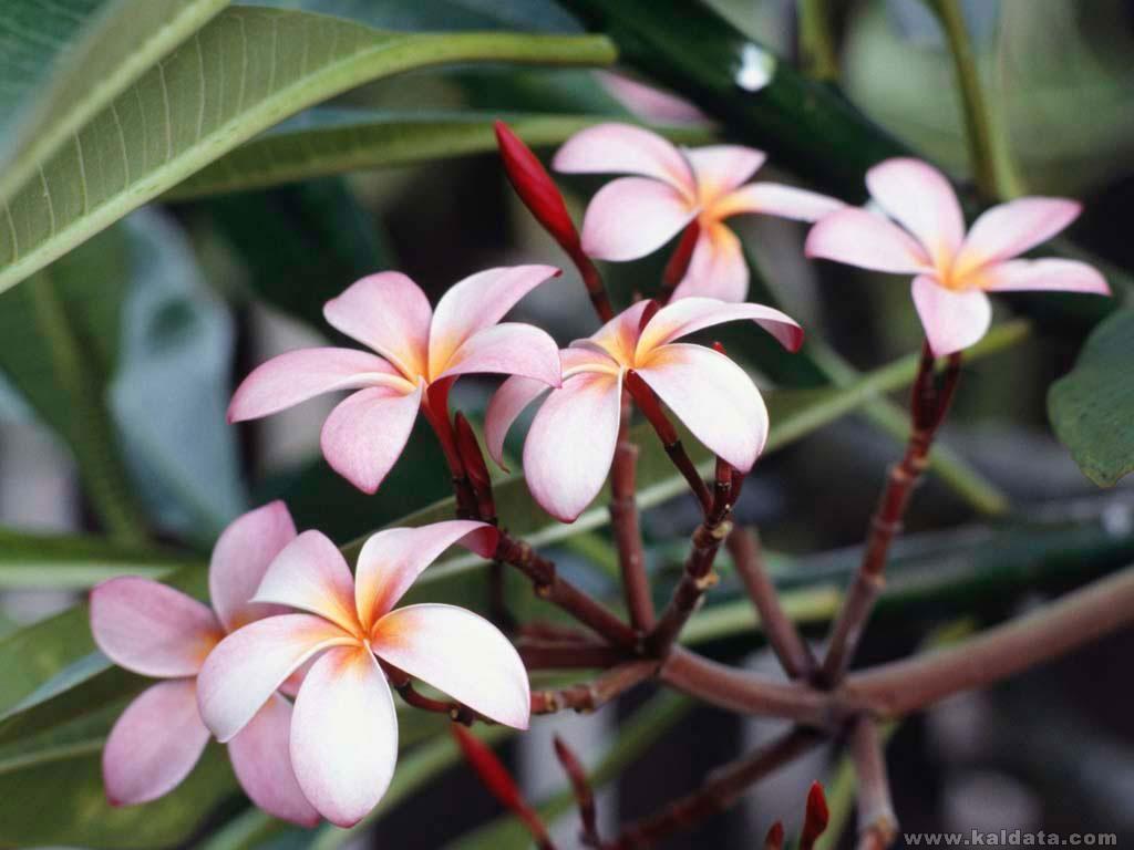 Frangipani Flowers.jpg