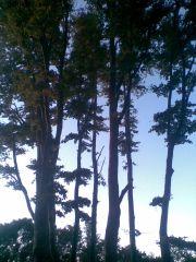 Дърво Витоша