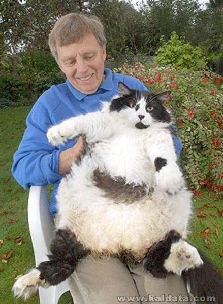 гигантска котка