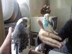 Мъжкият ми папагал
