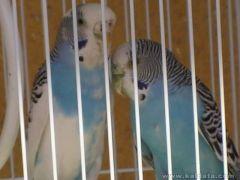 Моите вълнисти папагалчета