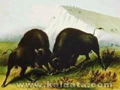 buffalo-1.jpg