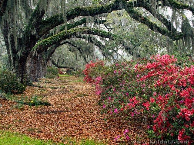 phoca_thumb_l_Azaleas and Live Oaks, Magnolia Plantation, Charleston, South Carolina.jpg