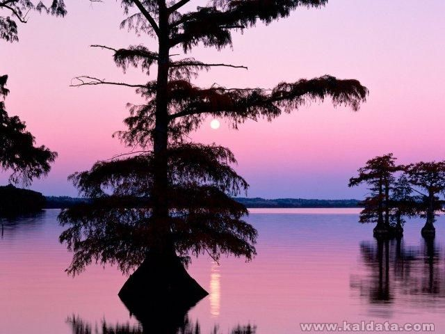 phoca_thumb_l_Bald Cyprus Trees, Reelfoot Lake, Tennessee.jpg