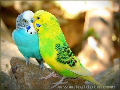 Beautiful Love Birds Wallpapers3