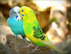 Beautiful Love Birds Wallpapers3