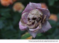 Skull rose resizecrop