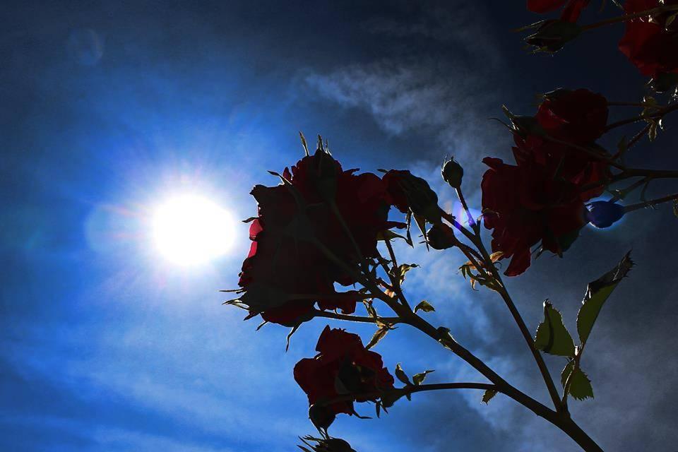 Красива роза на небесен фон