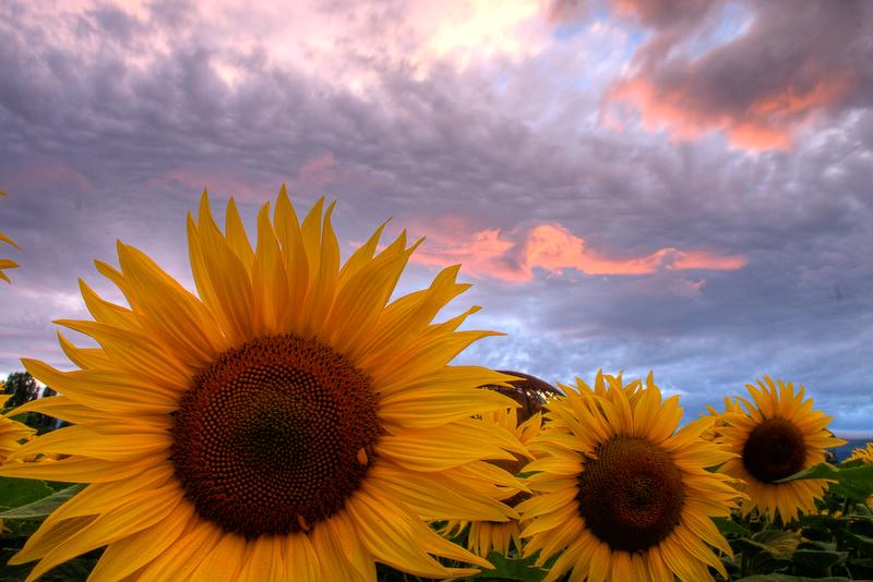 слънчогледи–слънце.jpg