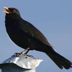 blackbird99